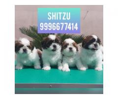 Show quality Shitzu pup available