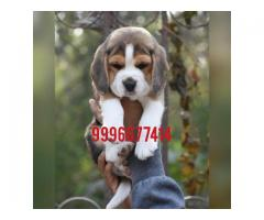 Show quality beagle pup available