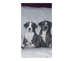 100% pure american pitbull puppies for sale in delhi