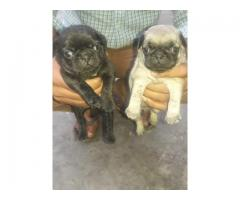 Pug puppy available in jalandhar city