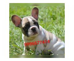 Show quality French bulldog puppy available