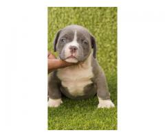American bully puppy for sale in india delhi assam bangalore chennai goa