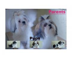 Shih tzu pups with Vaccination & 45 days 9916672339 tea cup Maltese Available