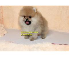 Excellent Quality Toy Pom  Small Size Puppy In Sahnewal