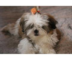 Shih tzu tricolor male and female puppies available