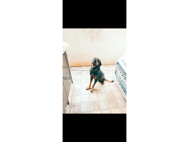 Want to sale my Rottweiler dog male 30 months old with kyc