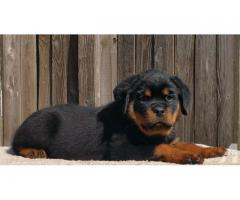 New Bone Rottweiler Puppies For Sale in Best Price range in Delhi Asia Pets Shop