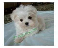 The Little Pup of Maltese Breed Available For Sale in Delhi NCR