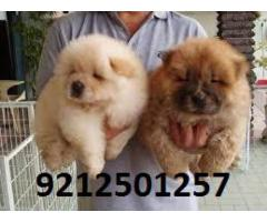 Chow Chow Pups For Sale in Testify Kennel