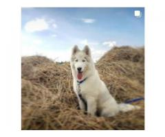 Well trained 6 months old Husky puppy for sale ...