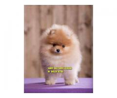 Outstanding Quality Toy Pom Puppies In Mansa