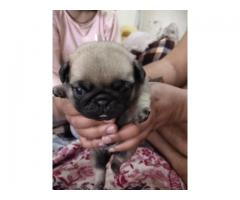 Pug Dogs Puppies For Sale In Delhi