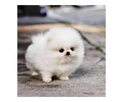 Tea Cup puppies Toy Pom available with vaccinated