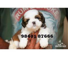 shih tzu puppies for sale in chennai 9840187666