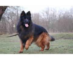 Superb Class Long Coated Gsd Pups For Sale Taskeen Pet's Hub