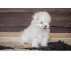 Superb Class Havanese Pups For Sale Taskeen Pet's Hub