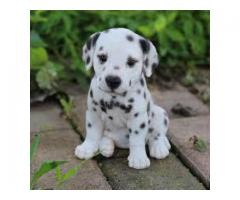 Dalmatian puppy were available at here if anyone interested call or whatsapp 8778840641