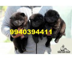 Chow chow puppies for sale in chennai 9940394411