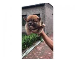 Japanese Akita Pups For Sale