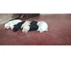 Pure quality lab pupps for sale