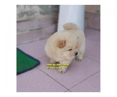 Outstanding Import Quality Chow Chow Puppy In Faridabad