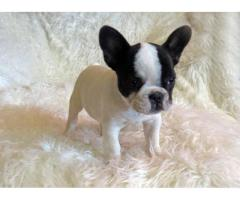 Top Quality 100% Pure Breed Chihuahua Puppies for sale Male and Female