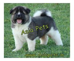 Top Quality 100% Pure Breed Lhasa apso Puppies for sale Male and Female