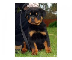 Top Quality 100% Pure Breed Rottweiler Puppies for sale Male and Female