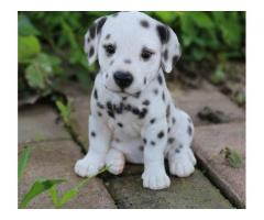 Dalmation puppy available 9080973506