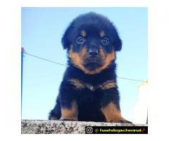 Rottweiler puppies waiting for new homes