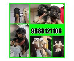 Buy golden retriever puppy in jalandhar city