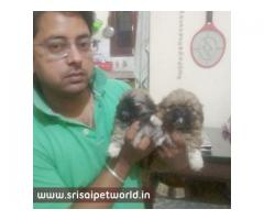 Pekingese puppy in Delhi @ 9888341827 @ www.srisaipetworld.in