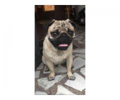 Male &female pug puppy available .