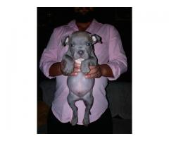Blue american pitbull puppies in Delhi , singh bulls kennel 9999708699