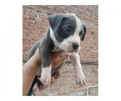 American Bully - Dogs for sale - Adopt, Buy & Sell KCI Certified