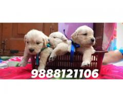 Golden retriever puppy available in jalandhar 9888121106
