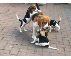 Champion Kc Beagle Pups