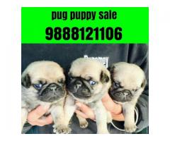 Pug puppy buy online jalandhar city 9888121106