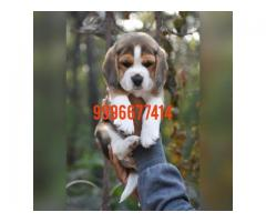 Show quality beagle pups available