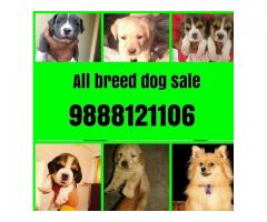 Labrador Retriever Punjab - Dogs for sale - Adopt, Buy