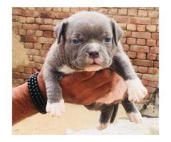 American Bully Puppy in Jalandhar city @ 9888341827