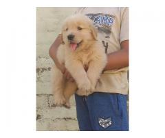 Golden Retriever Puppy in Jalandhar city @ 9888341827