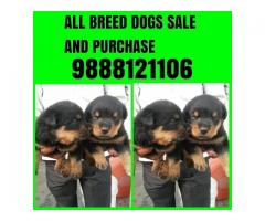 Rottweiler Punjab - Dogs for sale - Adopt, Buy & Sell KCI