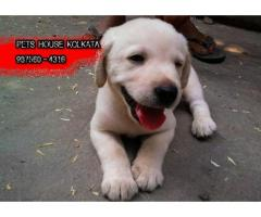 Show Quality LABRADOR Dogs Available At ~ IMPHAL