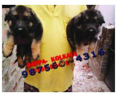 Massive GERMAN SHEPHERD Dogs Sale At ~ IMPHAL