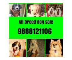All breed dogs sale and purchase in jalandhar city 9888121106