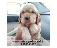 Cocker Spaniel puppy in Chandigarh - 9888341827 - www.srisaipetworld.in