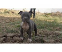 American pitbull puppy in delhi singh bulls kennel 9999708699