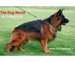 Heavy Size Double Coated German Shepherd Puppies available