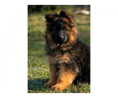 German shepherd puppy available call 9940658884